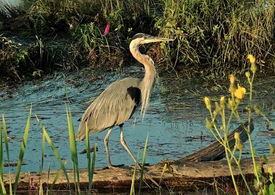 Heron-in-Scotch-Pond-Steveston