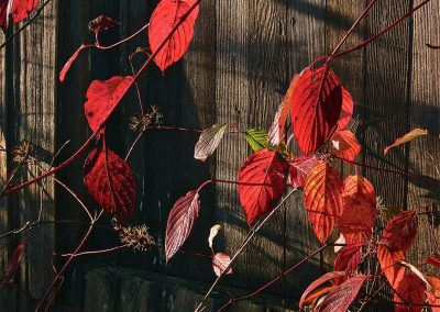 Red-Leaves-at-Finn-Slough