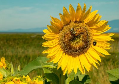 Sunflower-with-Bees-on-Dyke
